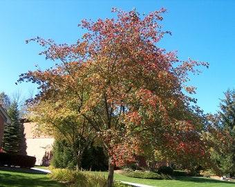 TreesAgain Washington Hawthorn Tree - Crataegus phaenopyrum - 20 to 30+ inches