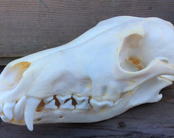Coyote Skull Real Authentic Montana Coyote Skull
