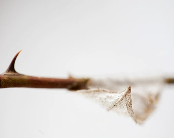Garden in winter: leaf and thorn