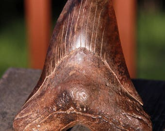 Huge 6 Inch Large Megalodon Shark Tooth Fossil So Carolina, Uncommon Dark Brown Sharktooth, Clean Authentic Natural Geniune Real Shark Teeth