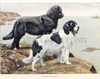 Newfoundslands Colored illustration by Louis Agassiz Fuertes from a Vintage 1927 Book Page
