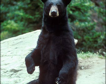 Poster, Many Sizes Available; American Black Bear