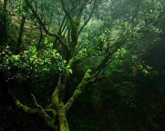 Old Tree Photo   Mist Fog   Fine Art Photography   polychromatophil   green moss lichen   enchanted mystic mysterious   calming