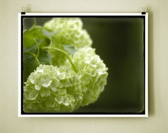EARLY HYDRANGEA GLOW - 8x10 Signed Fine Art Photograph