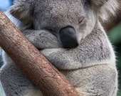 SLEEPY KOALA Photo, Koala...