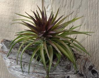 Tillandsia Tenuifolia Purple Fan