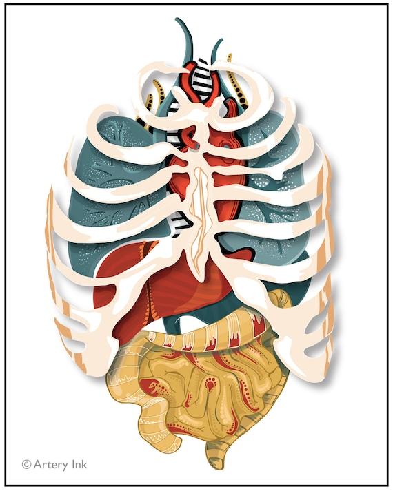 Bonito órganos Anatomía De La Caja Torácica Ideas - Anatomía de Las ...