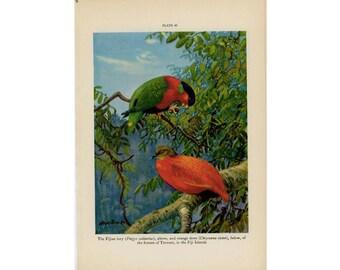 c. 1934 TROPICAL BIRD PRINT - original vintage print - bird print -  color ornithology lithograph - lory and dove