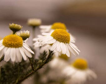 Daisy's are forever photography print (A4)