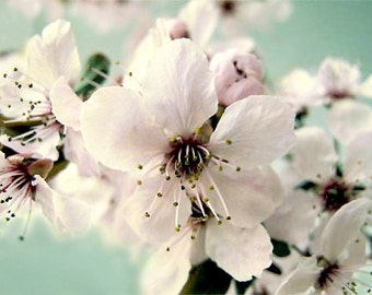First flower Tree of Spring Cherry Blossom Color photograph