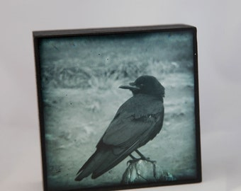 Blue Cyan Monotone Crow Photograph on Wood Panel--You Lookin at Me?--Fine Art