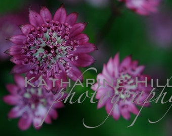 Pink Astrantia Flowers Colour Photographic Print