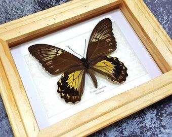 Framed Troides cuneifera Large Birdwing Butterfly Taxidermy A1 #54