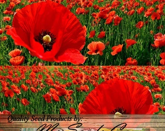 10,000 or 157,000 x RED POPPY HEAVY Bloomer flower Seeds - Europe from England to Greece - Papaver rhoeas - Zones: 3- 9