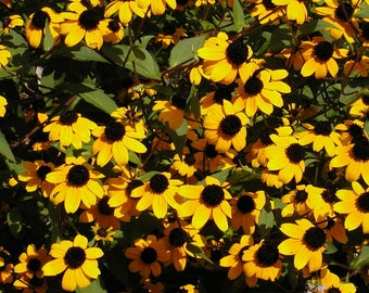 500 BROWN EYED SUSAN Rudbeckia Triloba Flower Seeds