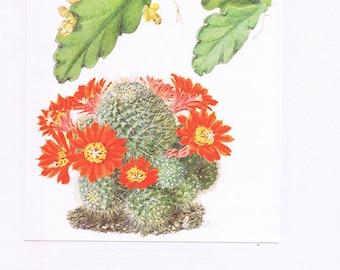 1954 Vintage cactus poster Rebutia Chrysacantha art Botanical art Cactus print Plant poster Cactus art Plant art Cactuses  Botanical poster