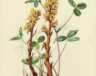 Vintage lithograph of the orobanche lutea, broomrape or broom-rape from 1955