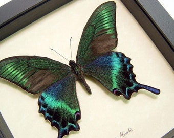 Wedding Gift Real Framed Green Papilio Maackii Butterfly Shadowbox Display 119