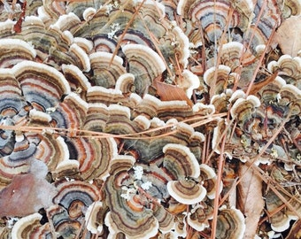Turkey Tail Dual Extract (Trametes versicolor)