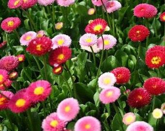 English Daisy Mix Flower Seeds (Bellis Perennis) 200+Seeds