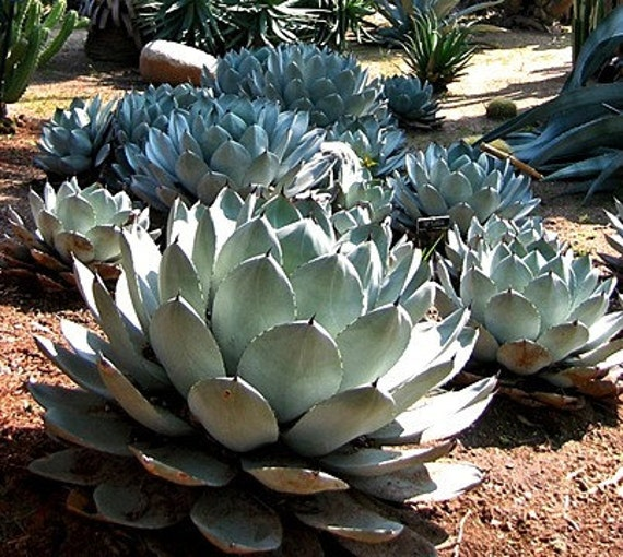 Artichoke Agave Agave Parryi Cold Hardy Succulent 10