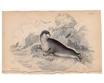 c. 1833 ANTIQUE SEAL PRINT - original antique engraving - marine animal print - ocean sea beach decor - by Lizar - the mitred seal