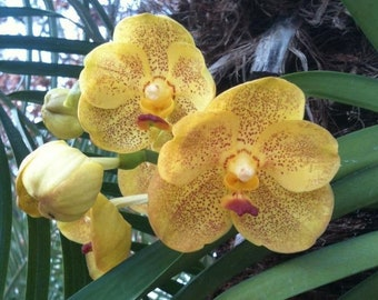 Orchid - Vanda Ratchaburi Sirathana ….. Stock #295