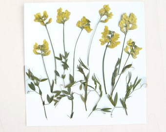Real Pressed Flowers - Pressed Yellow Flowers - Dried Meadow Vetchling Flowers - Pressed Meadow Pea