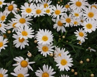 Heirloom 400 Seeds Roman German Chamomile Chamaemelum Garden Apple Anthemis nobilis Flower B0031