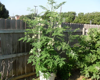 Moringa Oleifera,The Miracle Tree.Hybrid 5 Seeds,Pods By 2nd Year.Rare!