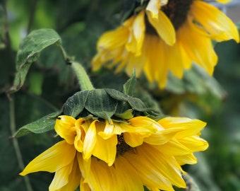 Sunflower3 Photo Art #20