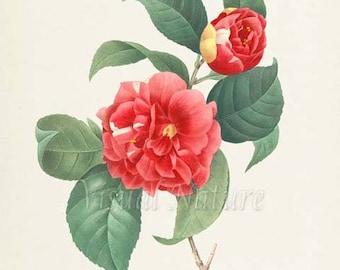 Botanical Flower Art Print, Camelia panache Art Print, Flower Wall Art, Flower Print, Floral Print, Redoute Art, red, green