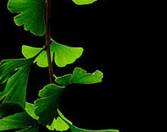 TS) GINGKO BILOBA Tree~Seed!!~~~~~~~~A Living Fossil for Your Front Yard!