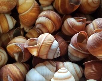 Mixed Striped Land Snail Shells Brown White Tan Ball Round Fairy Garden Seashells Decorating DIY Elf Gnome Crafts Crafting Decor Jar Filler