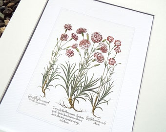 Antique Botanical Carnation / Sweet Williams Study 3 in Pinks, Corals & Green Archival Print on Watercolor Paper