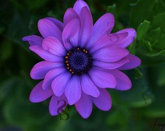Purple Flower Photo Print