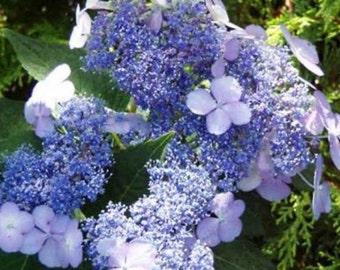 Blue Bird Lacecap Hydrangea - Live Plant - Quart Pot