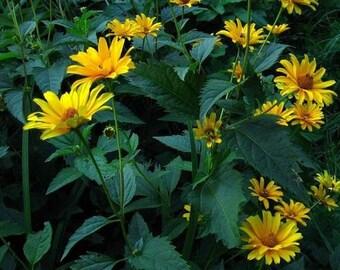 Sunflower Ox-Eye Seed-Organic Heirloom Perennial Flower Seed-Non-Gmo Seed