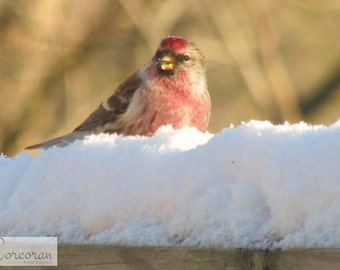 Red Grosbeak Male Bird - Sitting in the Snow