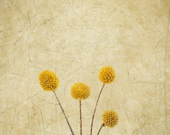 Craspedia -Billy Buttons - Woollyheads - Yellow Globe - Fine Art Flower - Nature - Botanical Print - Yellow Gold - Home Decor