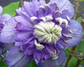 "Blue Light Clematis Vine - Blooms Spring & Fall - 2.5"" Pot"