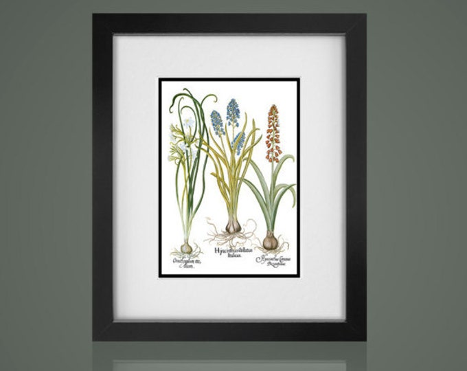 BOTANICAL PRINT -Free Shipping - Matted And Framed botanical Print, Gallery Wall Art, Framed Antique Print, Black Or  White Frames