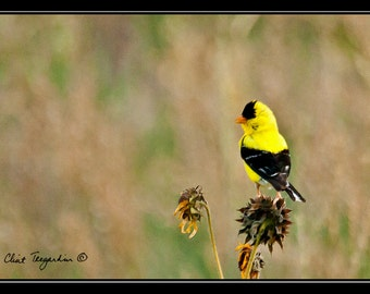 Goldfinch, Original Fine Art Photography