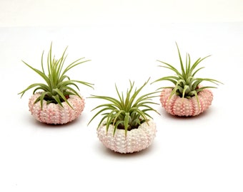 3 pc Tillandsia Air Plants with Pink Sea Urchins / Gift Box Included