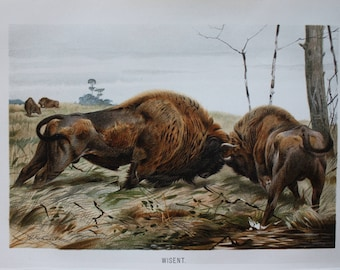 old print bison wisent  1895