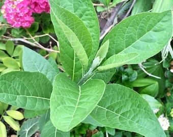 Bitter Leaf (Vernonia amygdalina) Plant