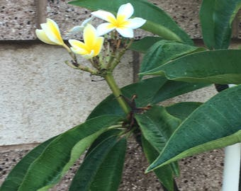 YELLOW Plumeria CUTTINGS, Purchase includes Growing Guidelines & Plant Food! Hawaiian flower for Leis, Hawaiian Floowering Plant