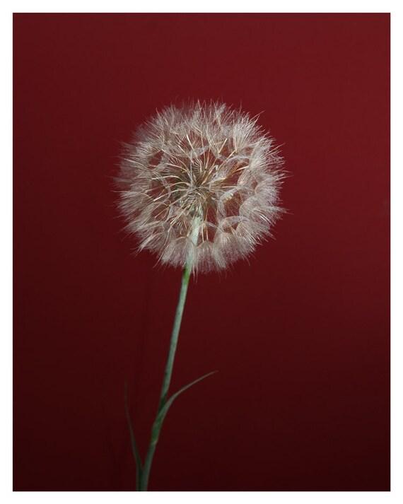 Fine art photography, Dandelion, Dandelion photography, 5x7, 8x10, Giclée print, Wall Decor, Home Decor