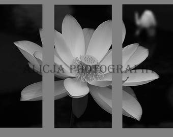 Lotus, Water Lily Triptych Art Canvas, Art Decor, Wall Decor, House Decor, Fine Art Photography