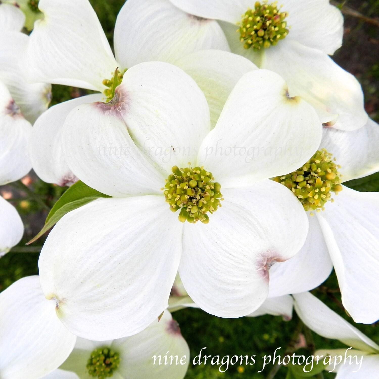 White Flower Photography Dogwood Flower Art Garden Print
